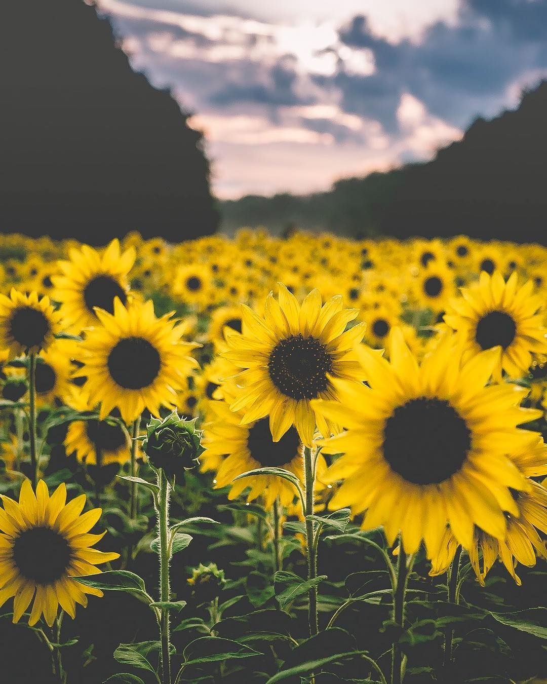 12 Photos That Prove Maryland S Massive Sunflower Field Is Instagram Gold Washingtonian Dc Sunflower Fields Blooming Sunflower Instagram Places