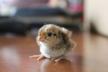 Картинки по запросу baby quail