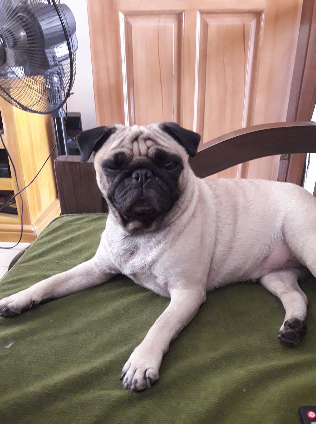 Chloe Zendaya Is 3 Years And 5 Months Pet Pug Pugs Funny Pug