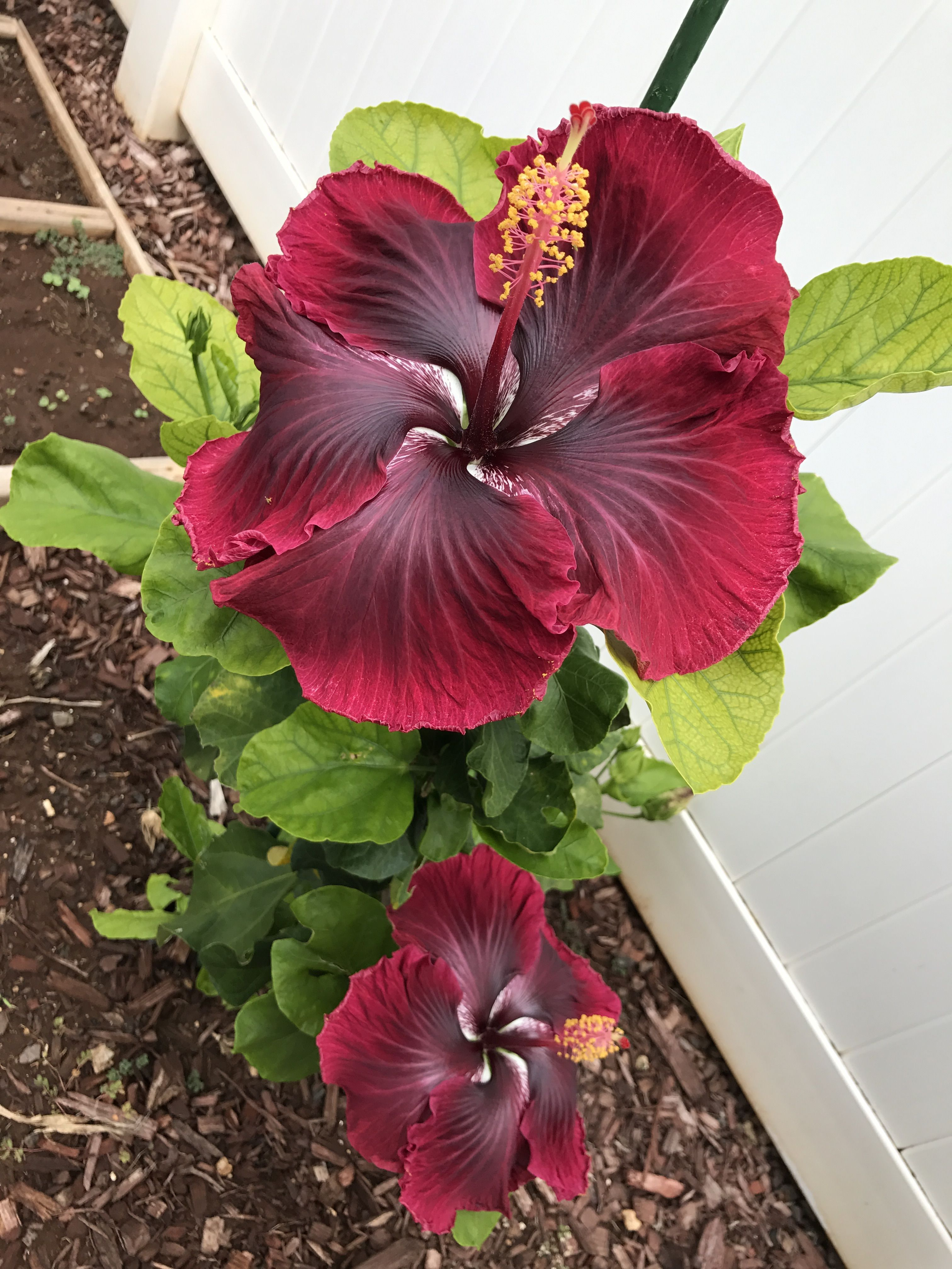 Black dragon hibiscus habiscus pinterest black dragon black dragon hibiscus izmirmasajfo
