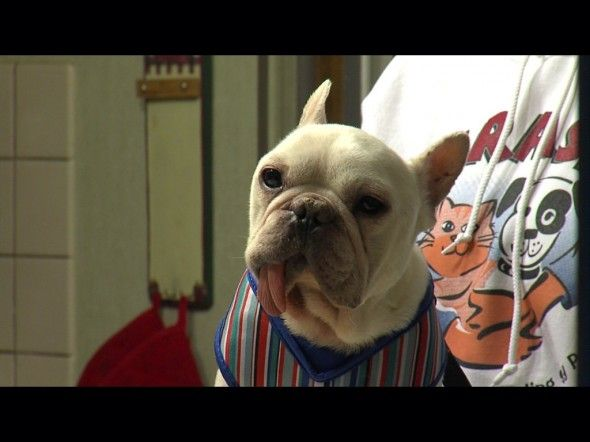 On Sunday Evening Employees At A Petco In Pittsford New York Discovered A French Bulldog Abandoned In The Bathroom The Dog Was Found Ins Pet Store Dogs Pets