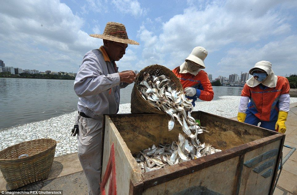 City residents shocked to see over 30 tonnes of dead fish fish at least 35 tons of dead fish appeared in a lake in southern china leaving residents stunned publicscrutiny Images