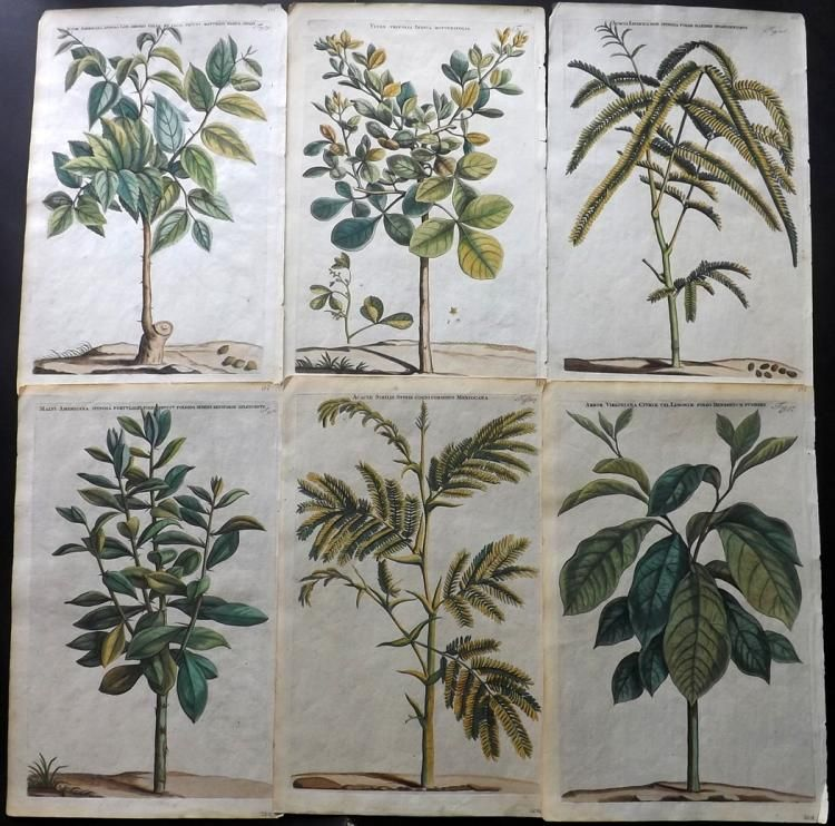 """Hand Coloured Copper Plates Published 1697-1701 by P & J Blaeu, Amsterdam for """"Horti Medici Amstelodamensis Rariorum..."""" by Jan & Caspar Commelin. Paper Size: 16 x 10 inch (40 x 26cm) A few very small margin faults. Very good condition for this series."""