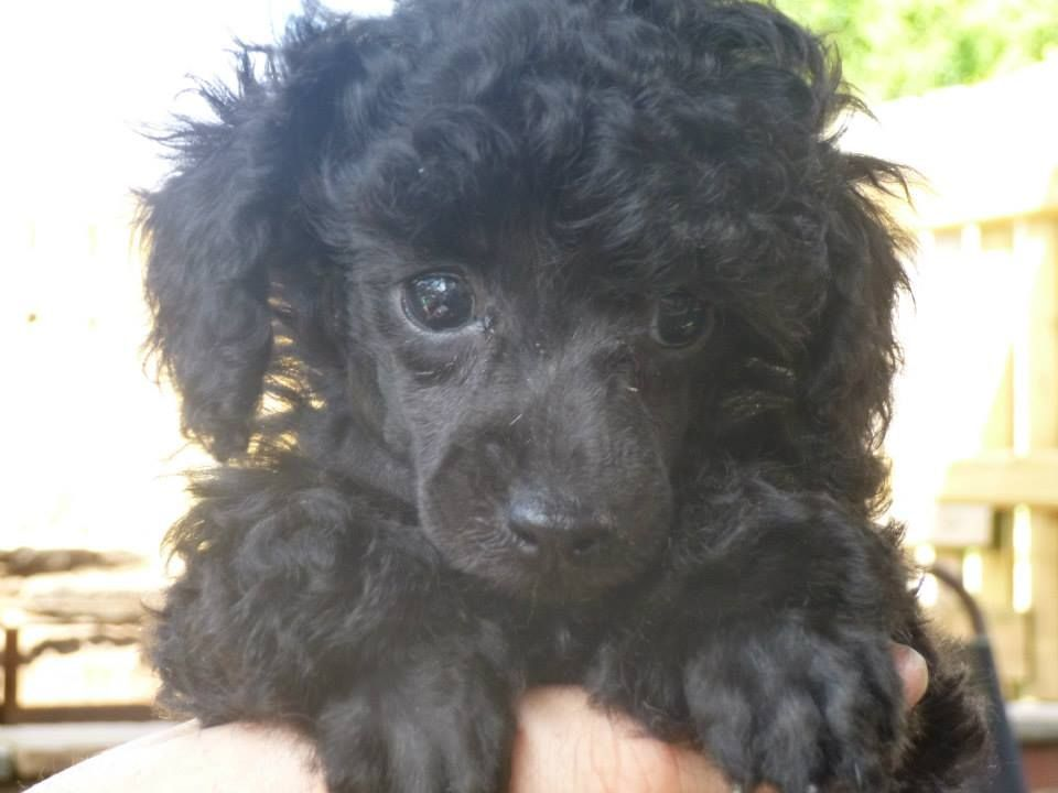 View This Pet Advert On Pets4homes In 2020 Poodle Puppy Teacup Poodle Full Grown Poodle