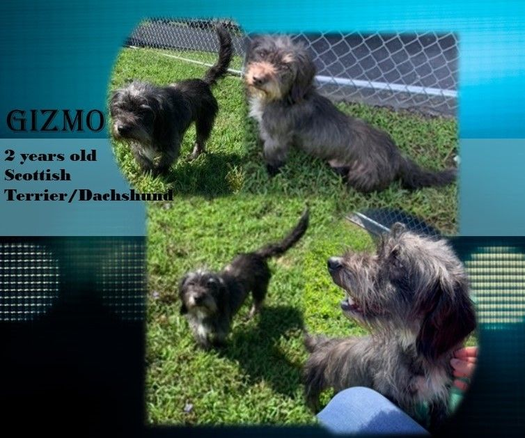 Adopt Gizmo On Pups Scottish Terrier Animal Shelter Dogs
