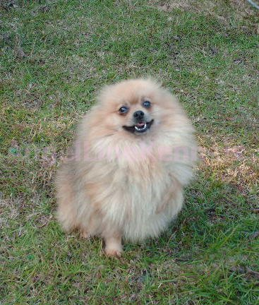 Pomeranian Coloring Pages for Adults Oliver Says Hello Again