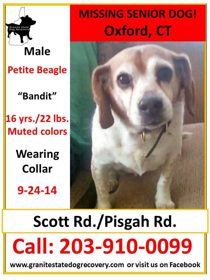 Missing Senior Male Beagle Oxford Ct 9 24 14 Bandit Is 16 Yrs
