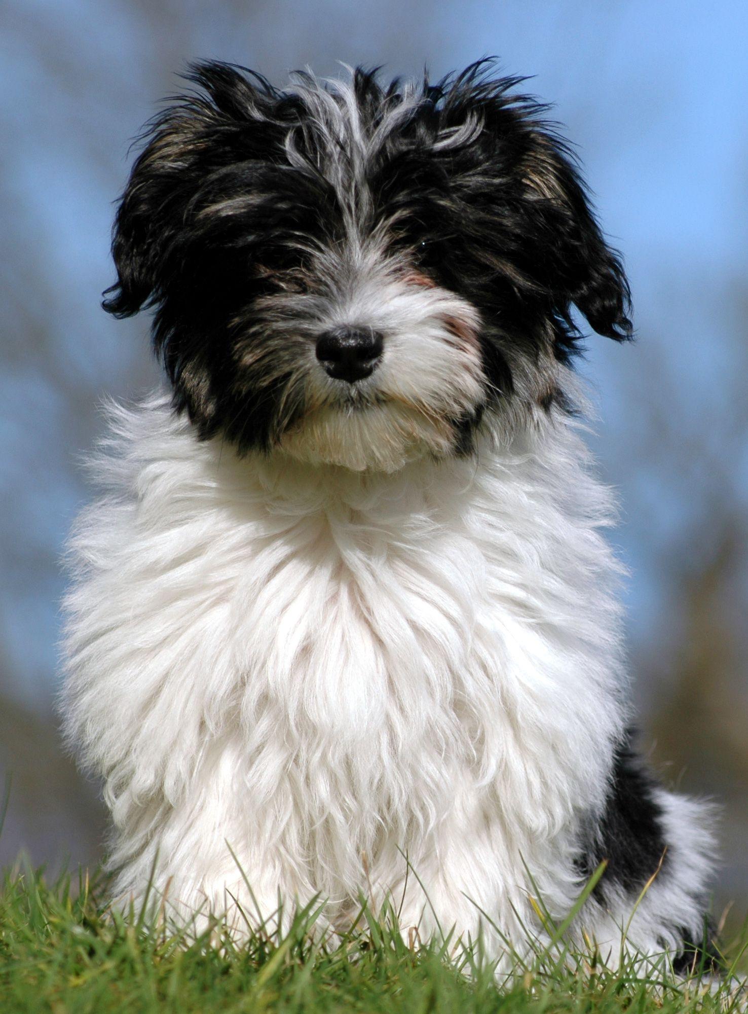Google Ergebnis Fur Http Www Hundefriseur Wien At Hunderassenbilder Havaneser Jpg Havaneser Hunde Rassen Hunde