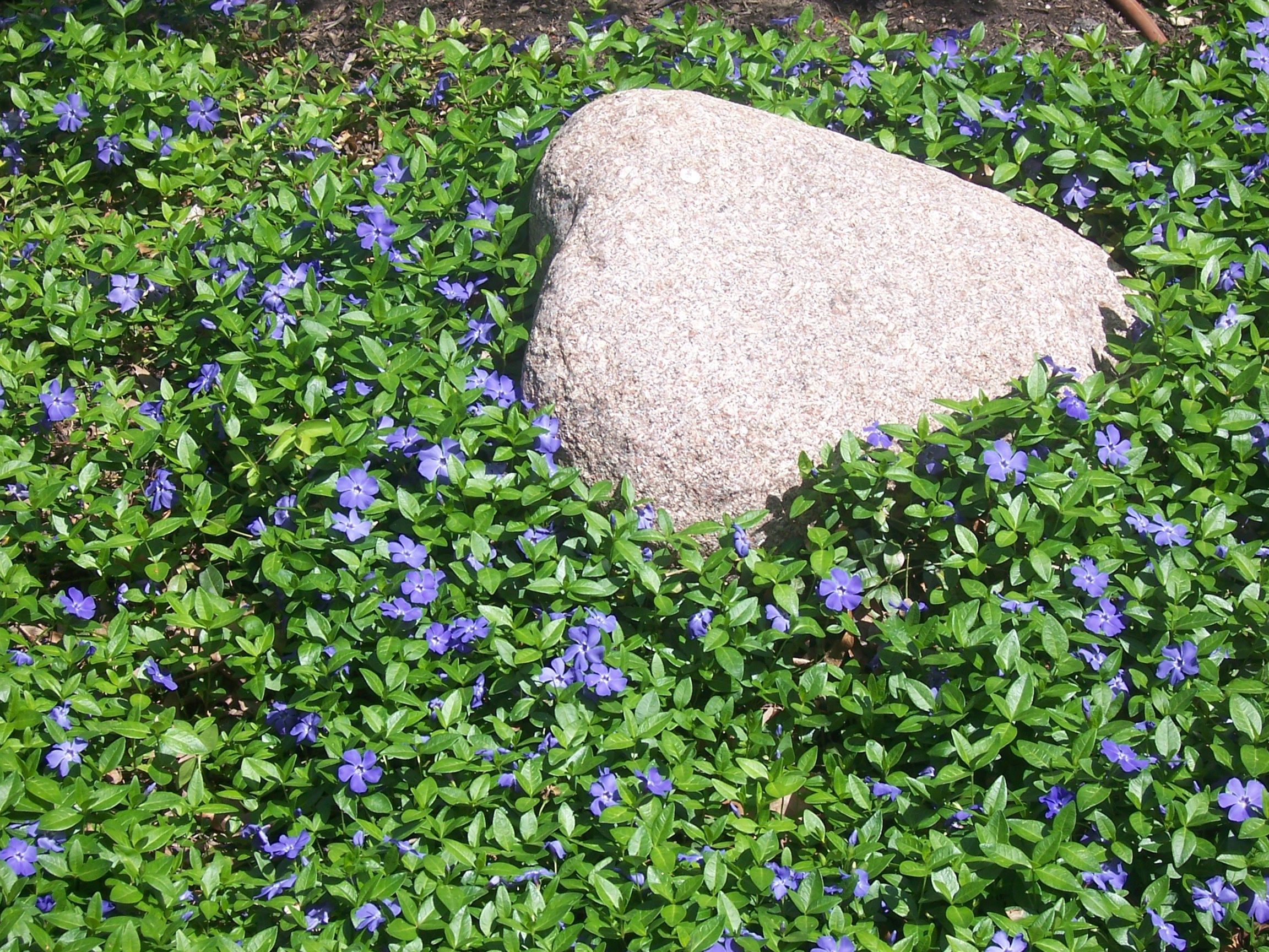 Vinca Minor Common Names Are Creeping Myrtle And