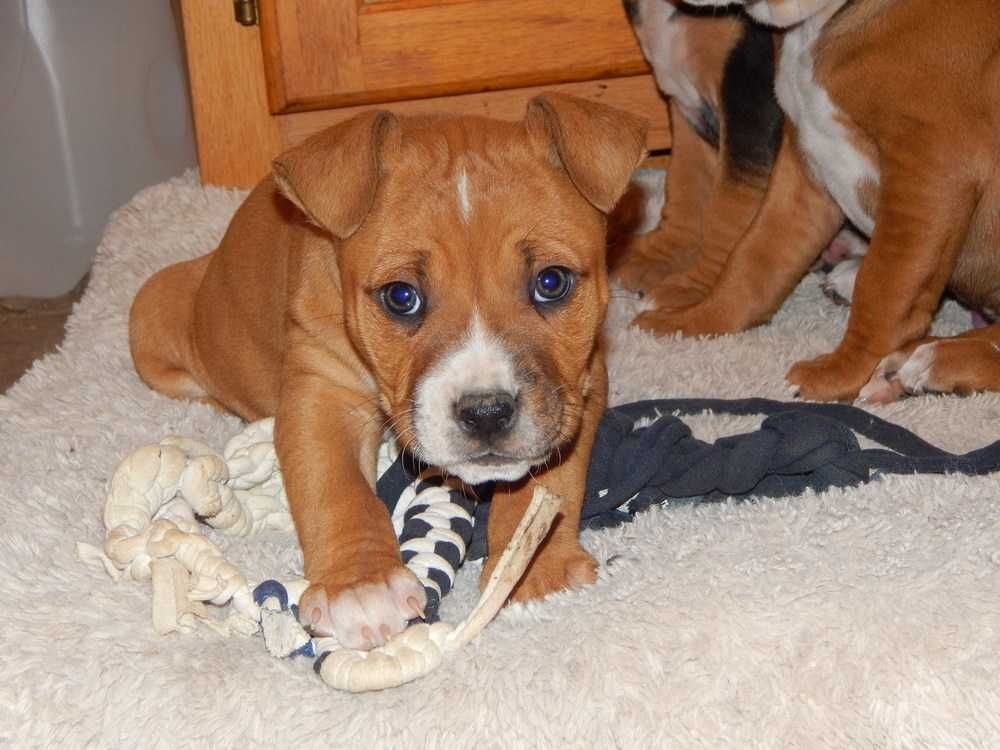 Boxer dog for Adoption in Fayette, MO. ADN417058 on