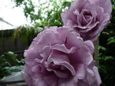 Image Search Results for raindrops roses