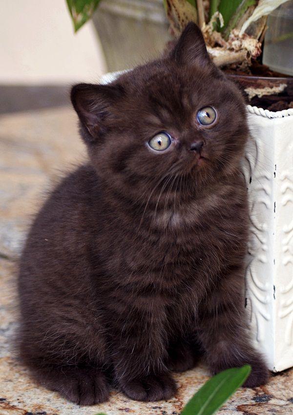 British Shorthair Queen Chocolate Solid Cute Cats British