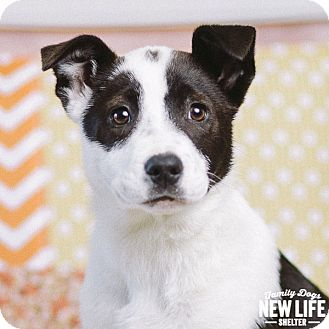 Portland Or Border Collie Mix Meet Harper Lee A Puppy For