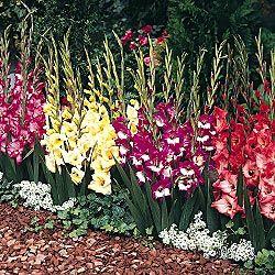 Gladiolus Flowers Photography Gladiolus Flower Garden