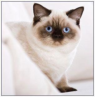 British Shorthair Cat Chocolate Silver Point British Shorthair Cats American Shorthair Kitten American Shorthair Cat