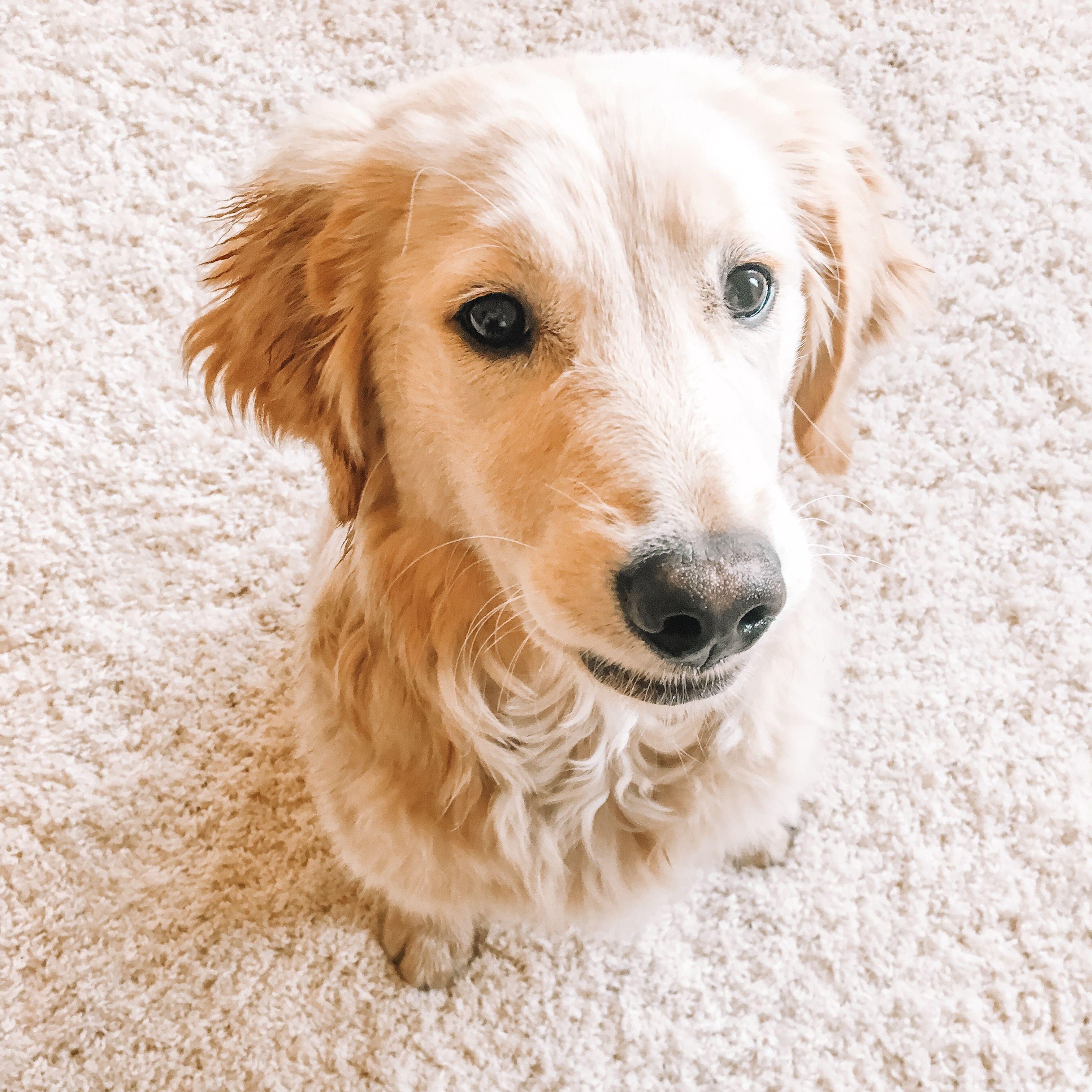 Dogs Dogsofinstagram Dogsandpuppies Goldenretriever Puppy