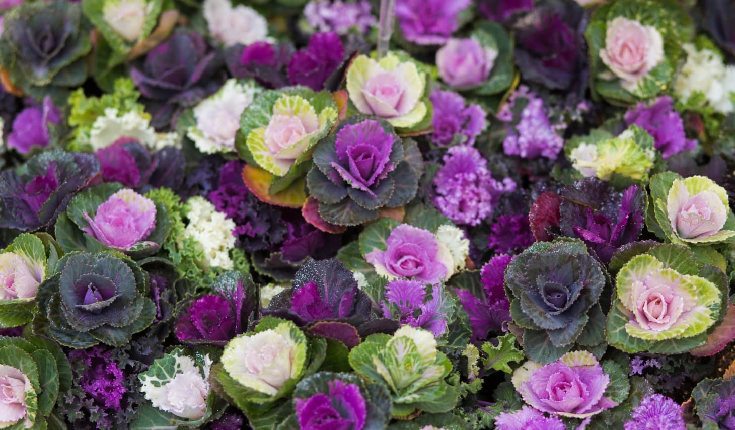 How To Grow And Care For Ornamental Kale And Cabbage Ornamental Kale Flowering Kale Ornamental Cabbage