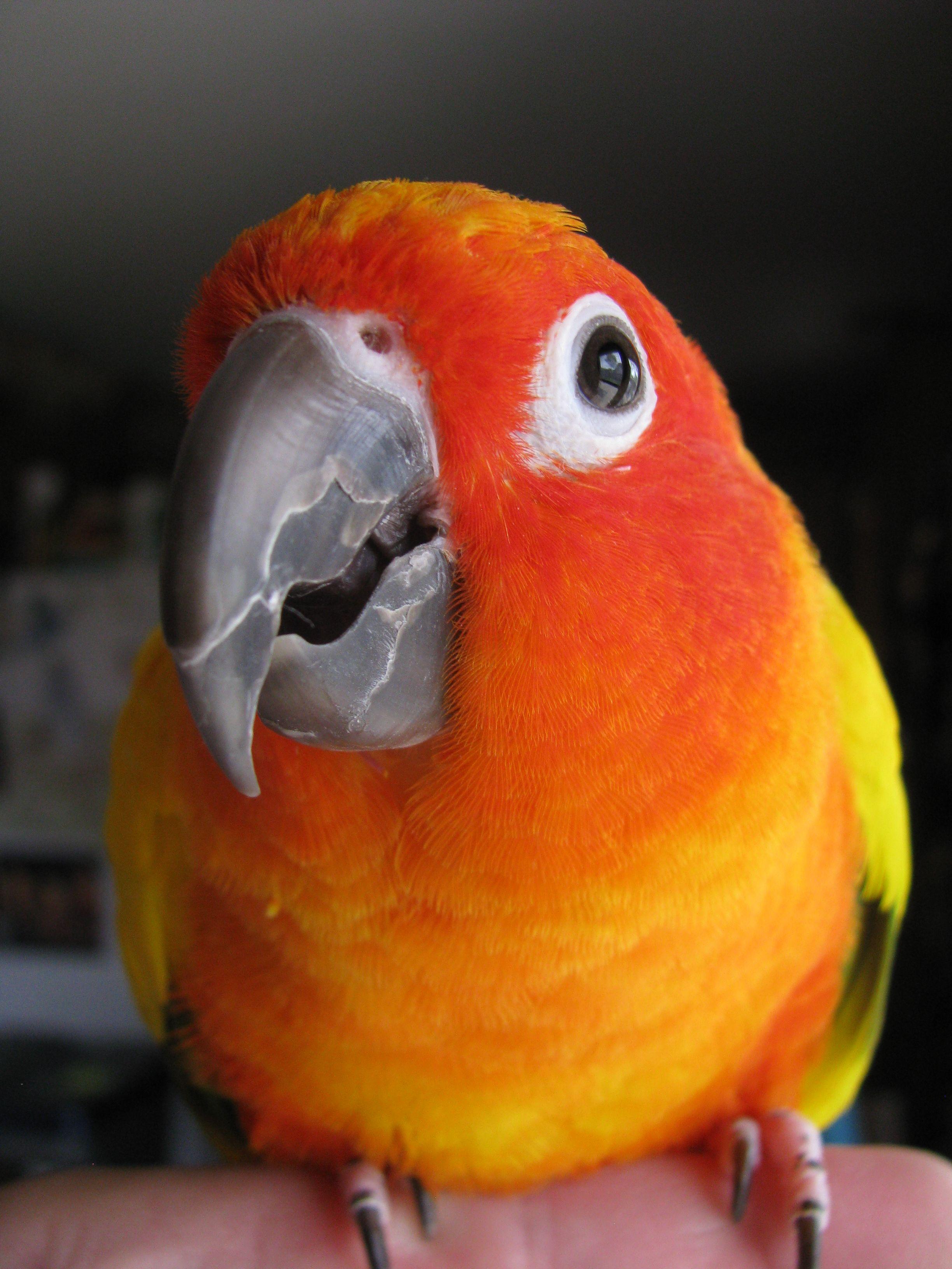Sun Conure Picasso Conure Parrot Colorful Parrots