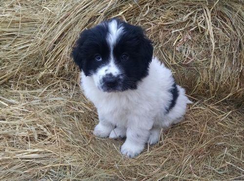 Livestock Guardian Dogs Lgd Great Pyrenees Anatolian And
