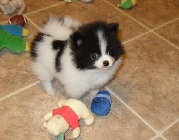 Black And White Pomeranian Puppies For