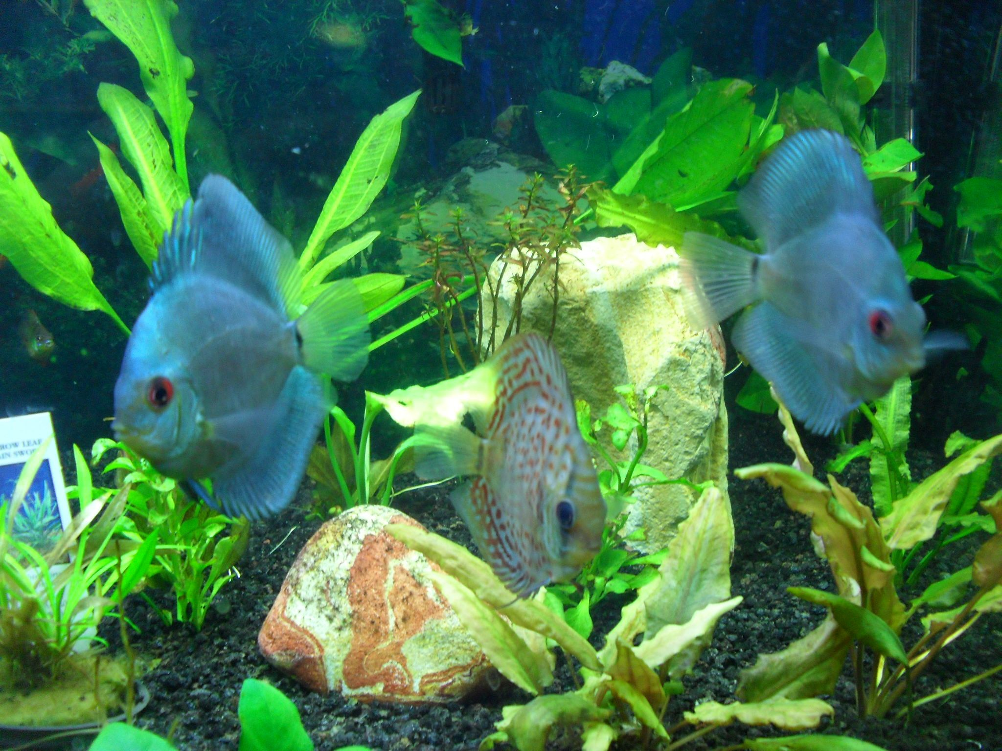 Blue diamond discus at steve 39 s tropical fish pond supply for Tropical fish pond