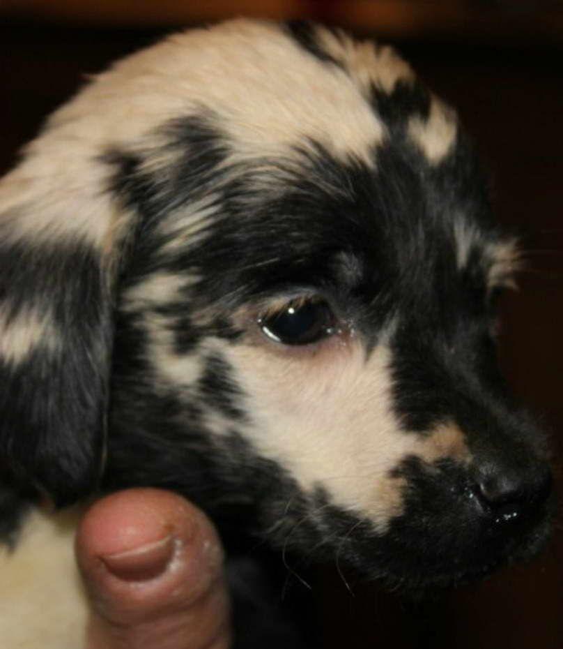 Chimera Labrador Puppies For Sale Labrador Puppies For Sale