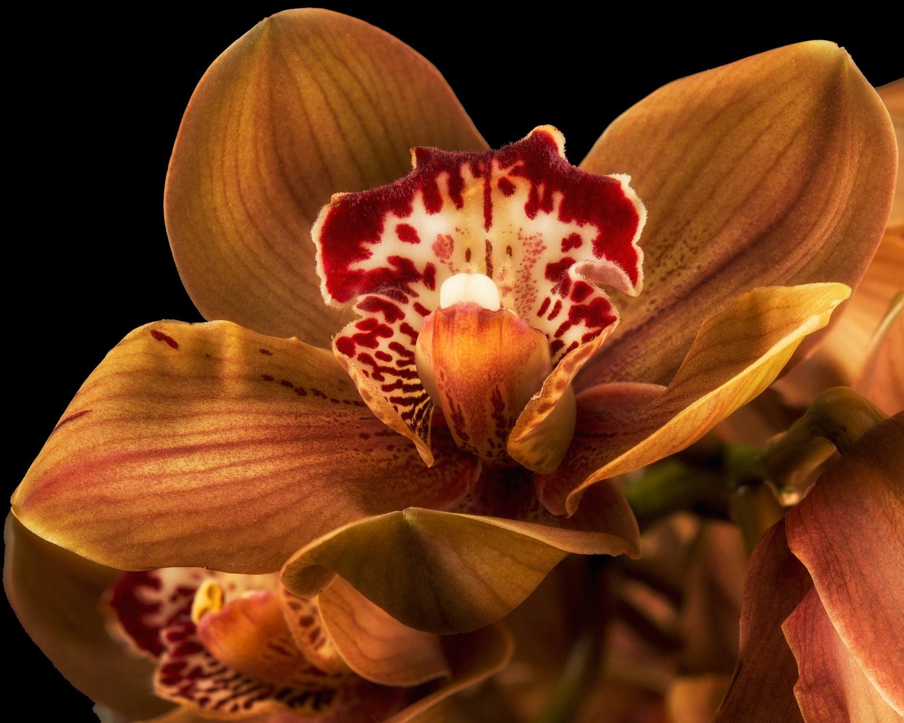 Bronze orchid flowers orchids pinterest orchids flowers and