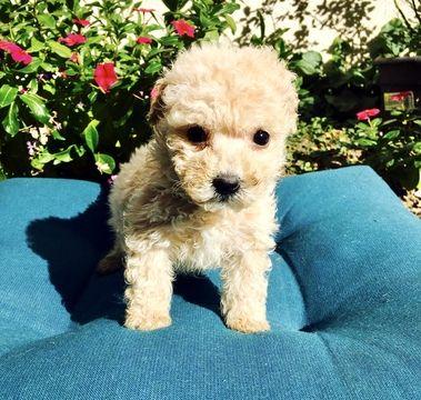 MalteseMaltipoo Mix puppy for sale in LOS ANGELES, CA