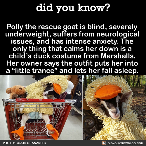 """Polly the rescue goat is blind, severely underweight, suffers from neurological issues, and has intense anxiety. The only thing that calms her down is a child's duck costume from Marshalls. Her owner says the outfit puts her into a """"little trance""""..."""
