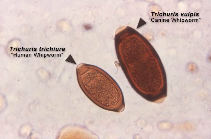 Image result for trichuriasis in dogs