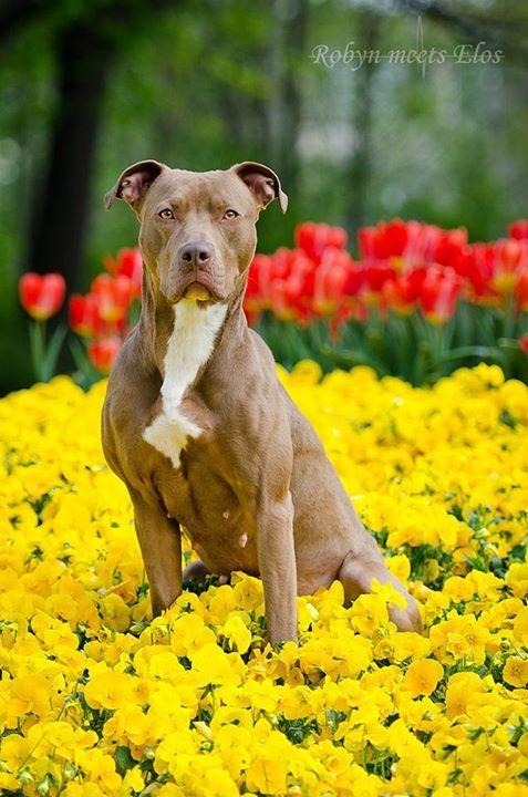Staffy Weimaraner Mix Animal Photography Pitbull Mix Big Dogs