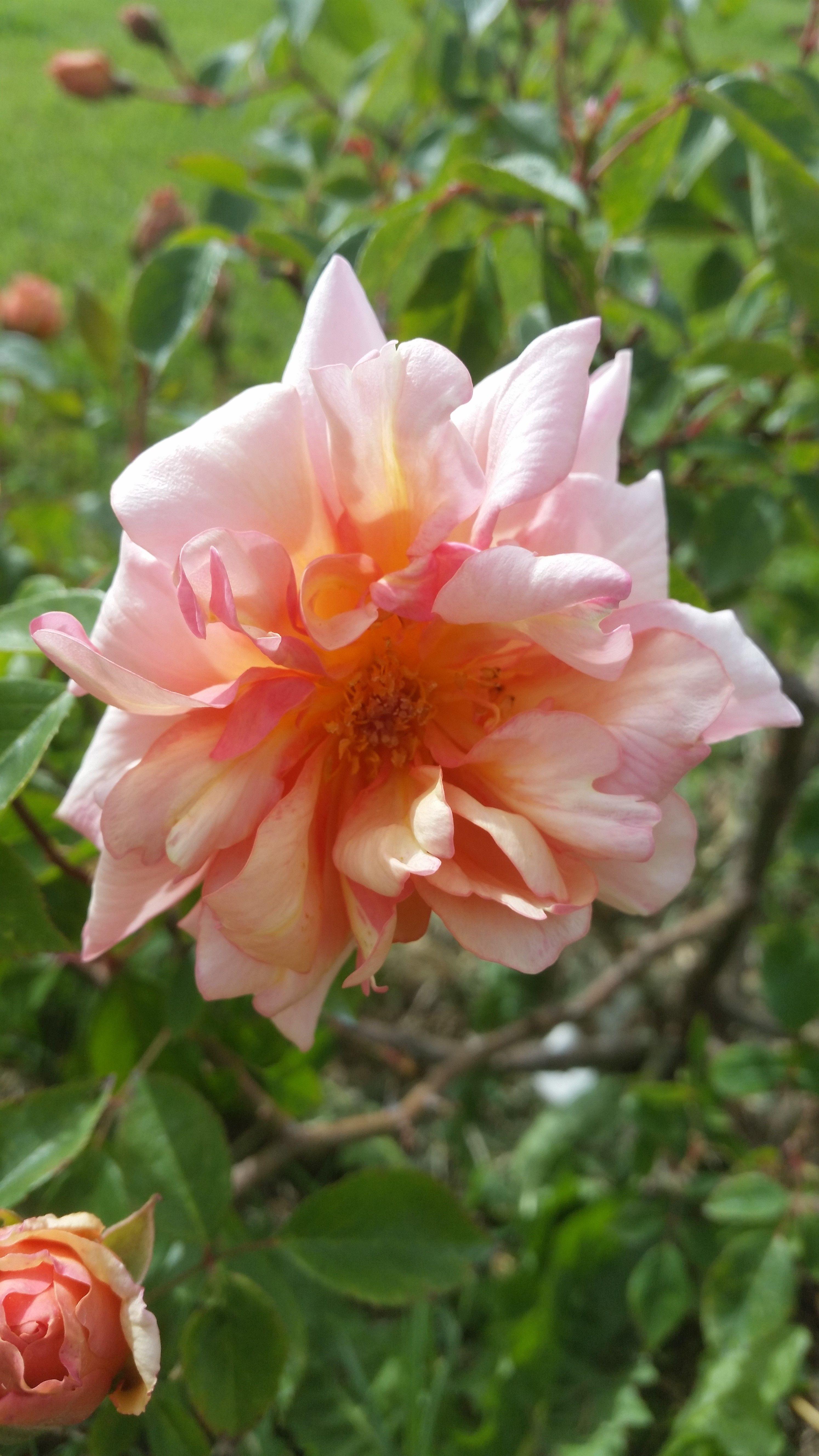 Tea Noisette Rose: Rosa 'Jean André' (France, 1893)