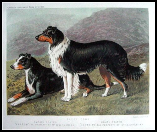 Sheep Dogs |  from the Illustrated Book of the Dog by Vero Shaw, published in 1881 by Cassell, Petter, Galpin & Co. Chromolithographs, some with hand finishing Sheet size: about 8 x 10½ inches ( 21,5 x 27 cm )