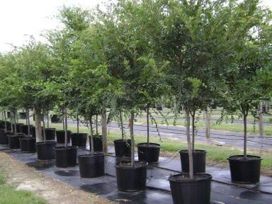 Drake Chinese Elm Tree Chinese Elm Tree Elm Tree Farmhouse Landscaping