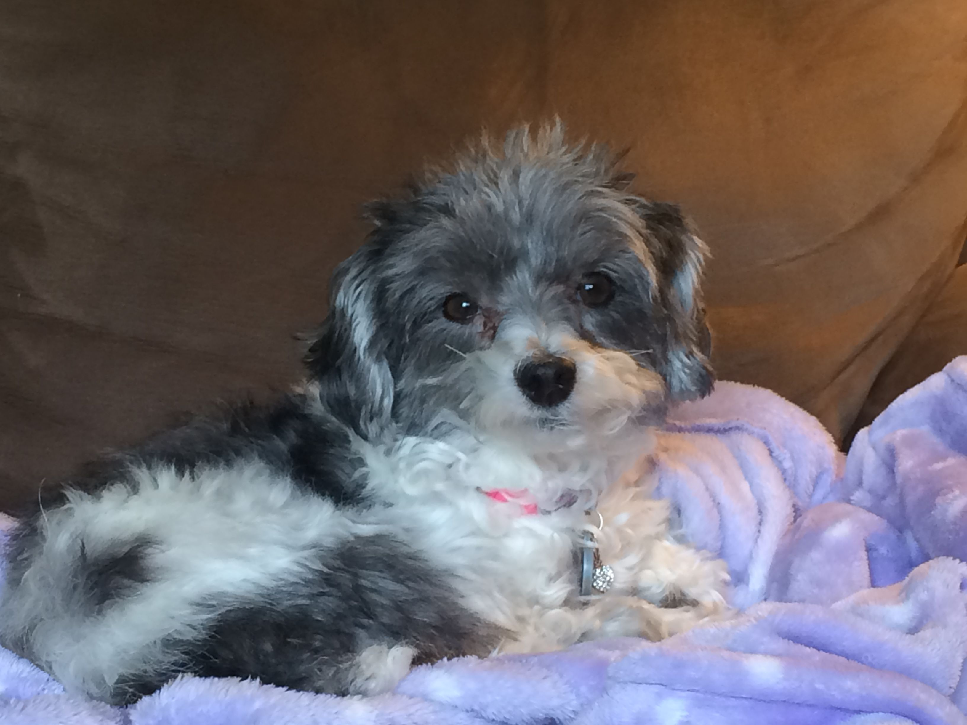 Maltipoo Grey And White Dog Breeds Maltipoo