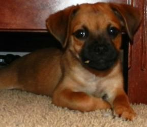 Adopt Marvin On Cute Little Puppies Pug Beagle Mix Little Puppies