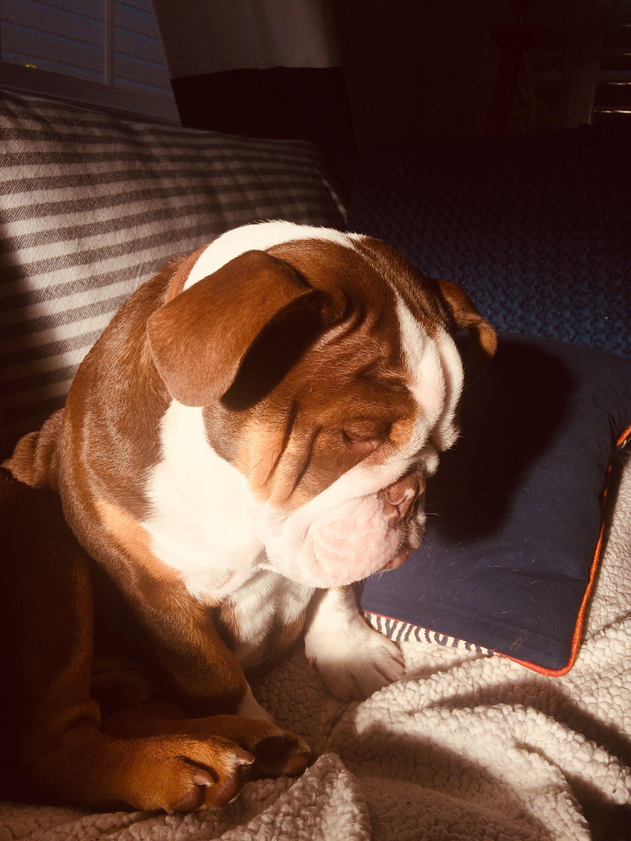I Am So Tired Tank1thebulldog Englishbulldogs English Bulldog