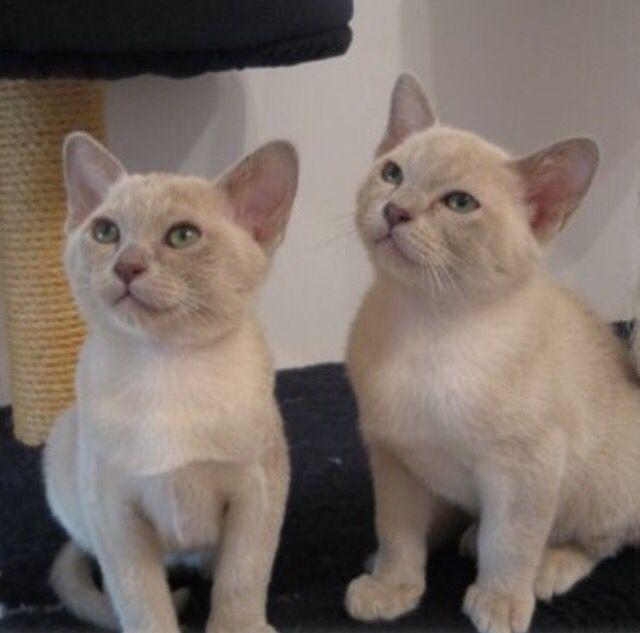 Lilac Burmese Kittens Burmese Kittens Burmese Cat Cute Cats