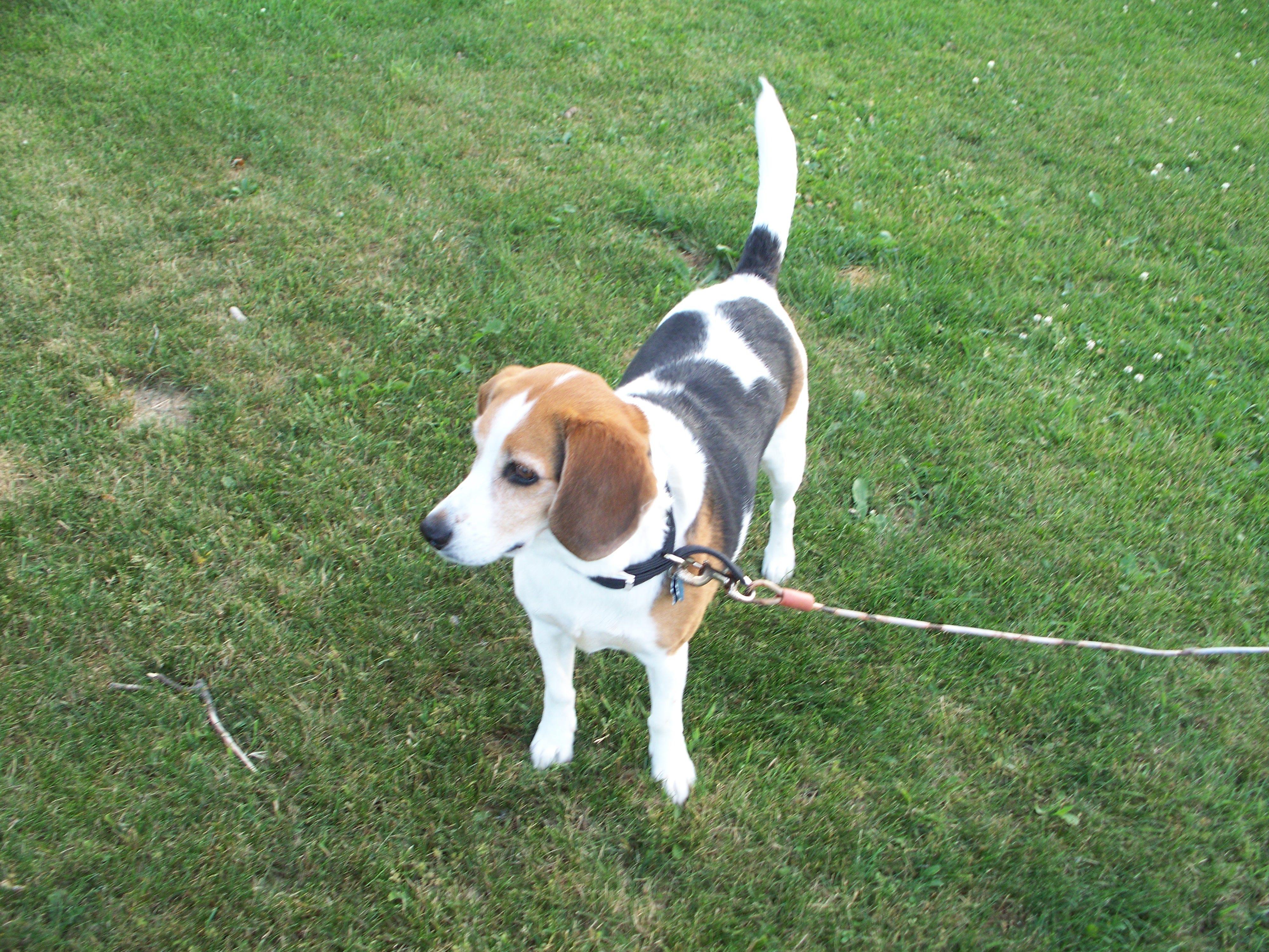 My Beagle Mix Hunter Beagle Hound Beagle Mix