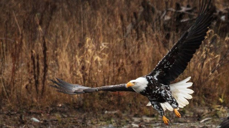 white spotted eagle feeding on the Nooksack River Bald