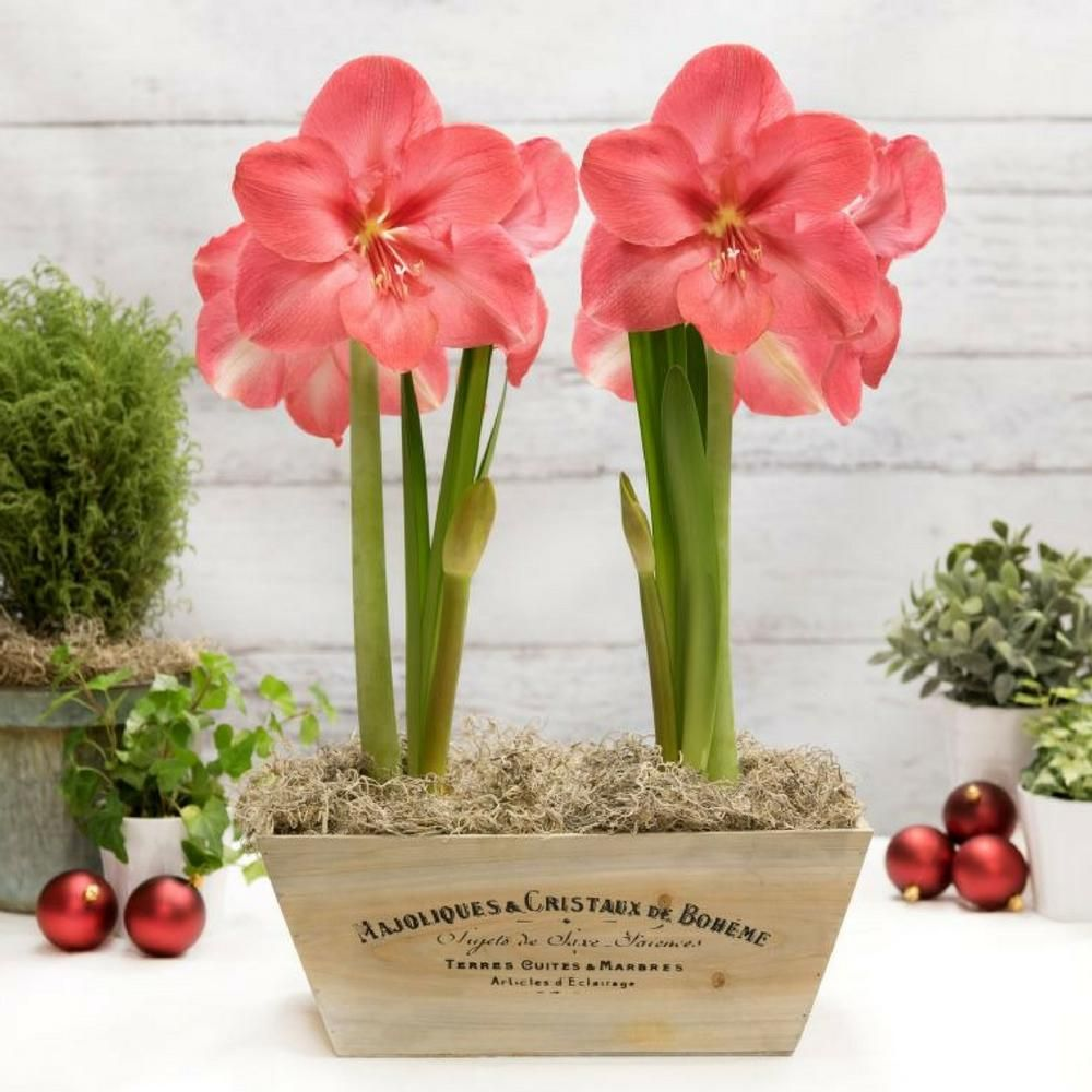 Double The Fun With A Gift Kit That Includes Two Jumbo Amaryllis Bulbs In A Decorative Wooden Crate Just Add Water And W Bulb Flowers Urban Garden Amaryllis