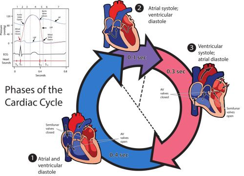 Phases Of The Cardiac Cycledigital Illustration And Graphic Adobe
