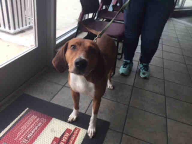 American Foxhound Dog For Adoption In San Antonio Tx Adn 710976