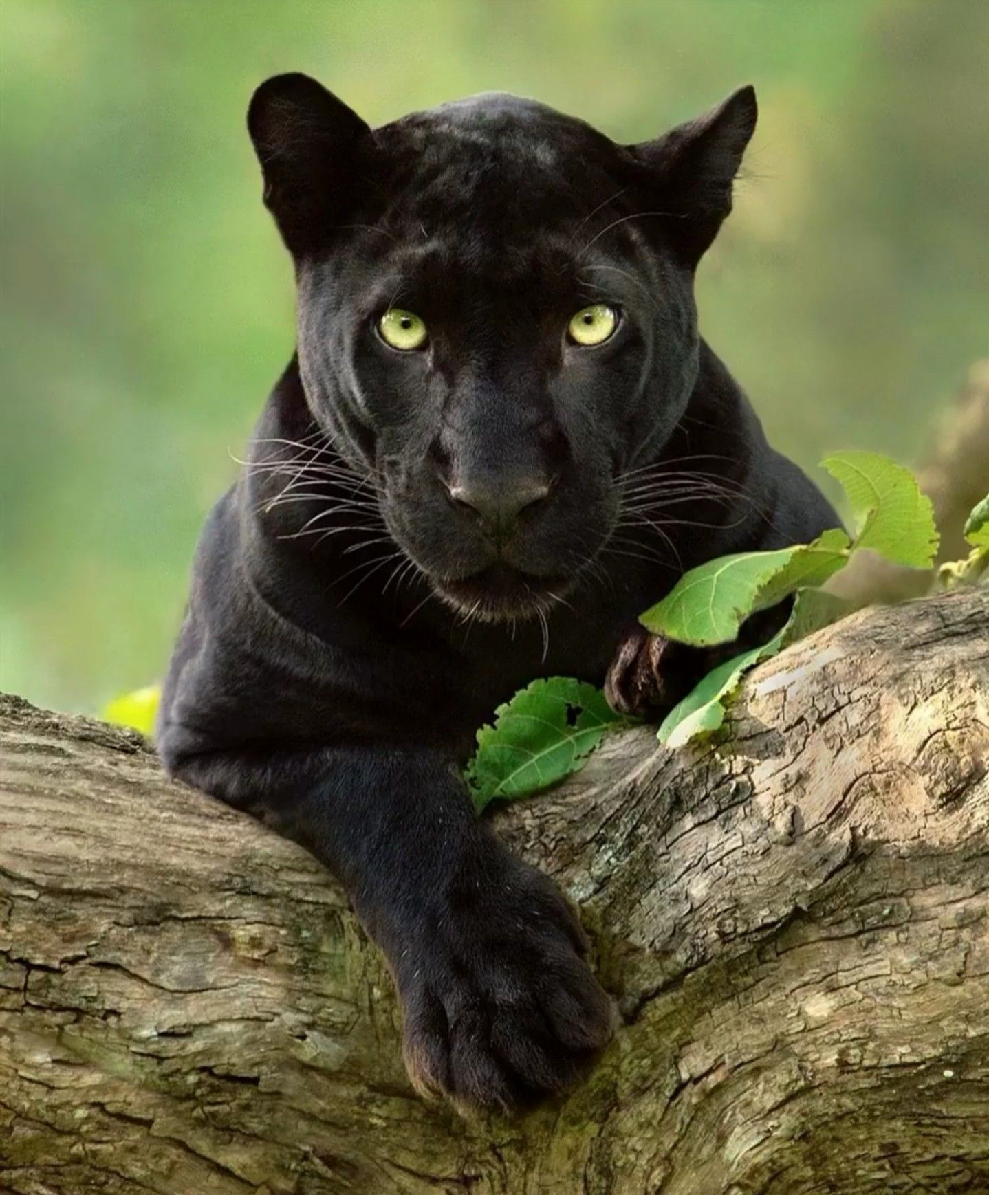 Pin by Rita Patton on Animals Big cat species, Black