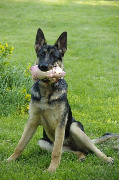german shepherd playing with a toy #germanshepherd