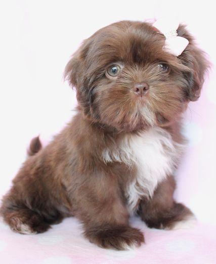 Chocolate with green eyes. | shih tzu | Pinterest | Puppys ...