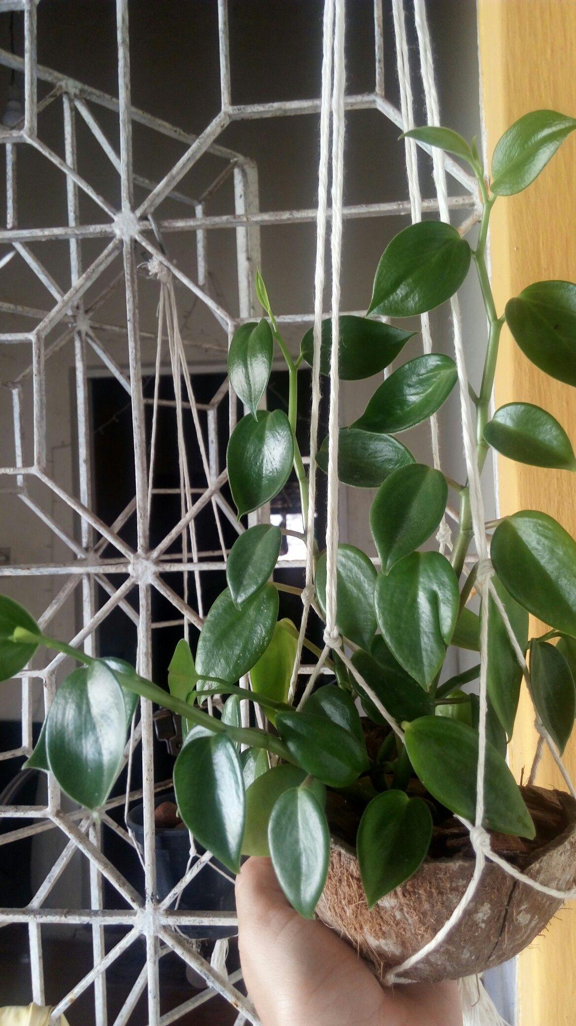 Peperomia serpens succulents n cactus pinterest for Kajuard plantes