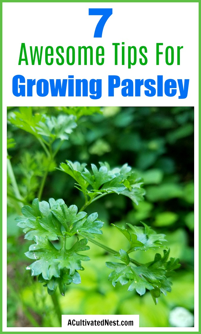 7 Tips for Growing Parsley Easy Parsley Gardening Tips is part of Growing parsley, Growing vegetables, Parsley plant, Growing food, Urban garden, Gardening tips - Parsley is a very useful (and tasty) herb that can be easy to grow, if you know a couple of important things! Here are 7 handy tips for growing parsley!