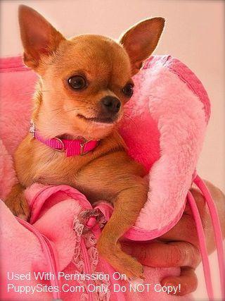 Chihuahua Dog Puppy Websites Cute Chihuahua Baby Chihuahua