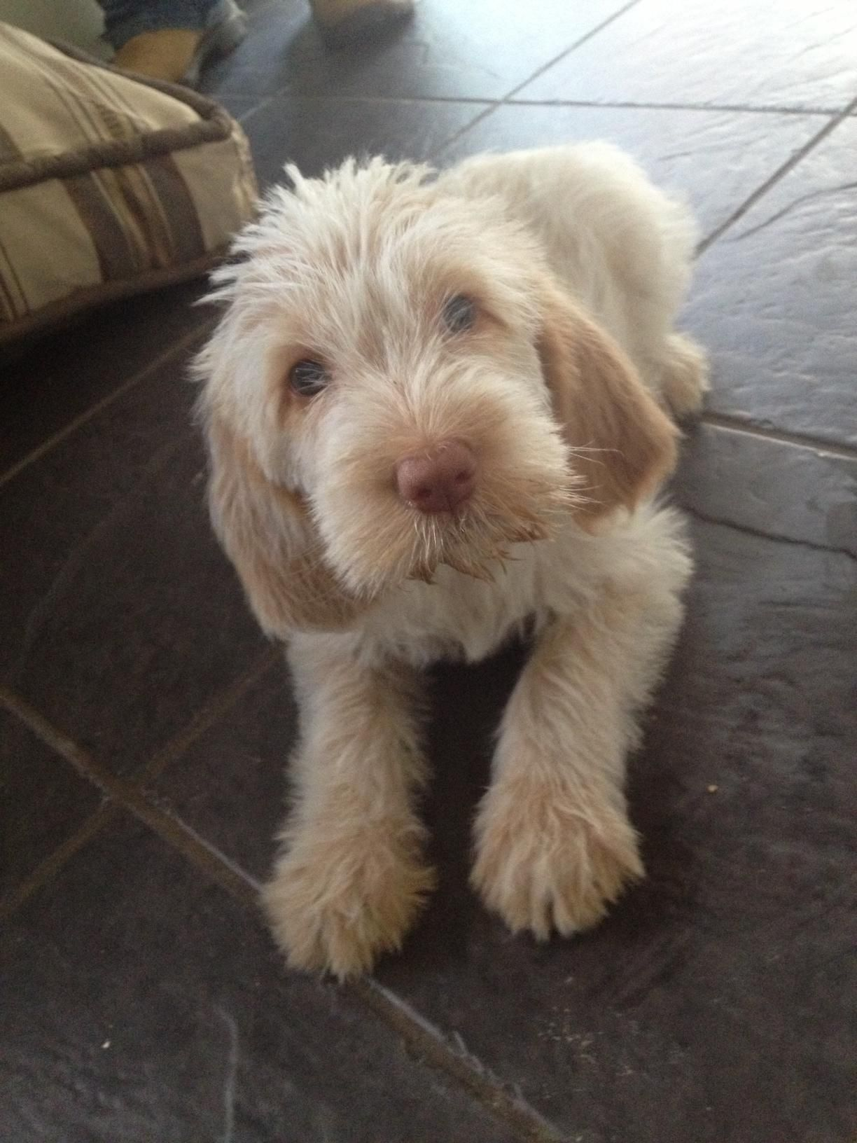 Image of italian spinone brown roan young puppy blue sitting cute - Image Of Italian Spinone Brown Roan Young Puppy Blue Sitting Cute 24